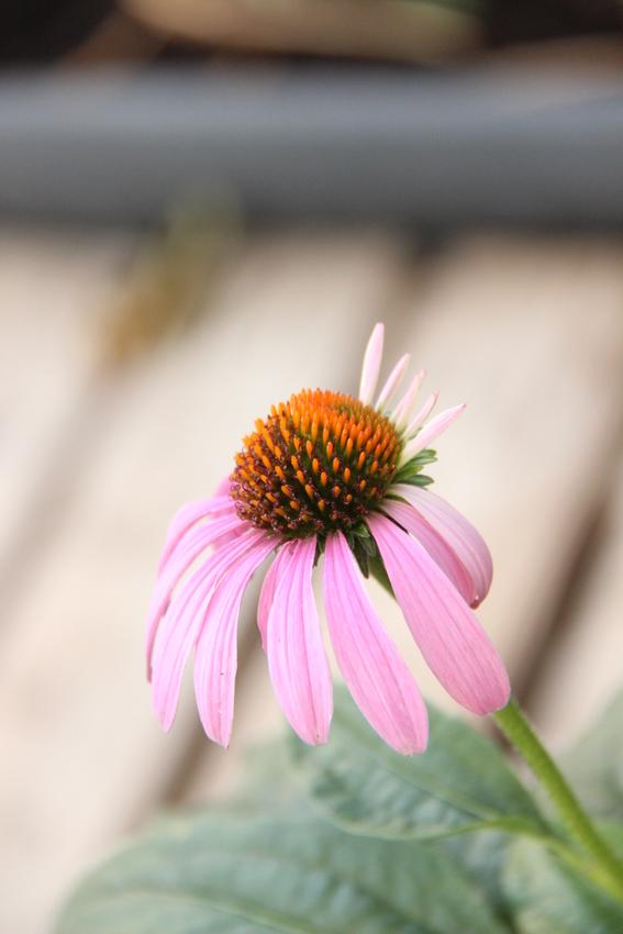 Echinacea_2019 (78)