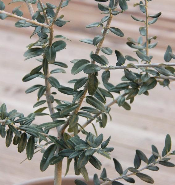 Pousse d'olivier future bonsaï